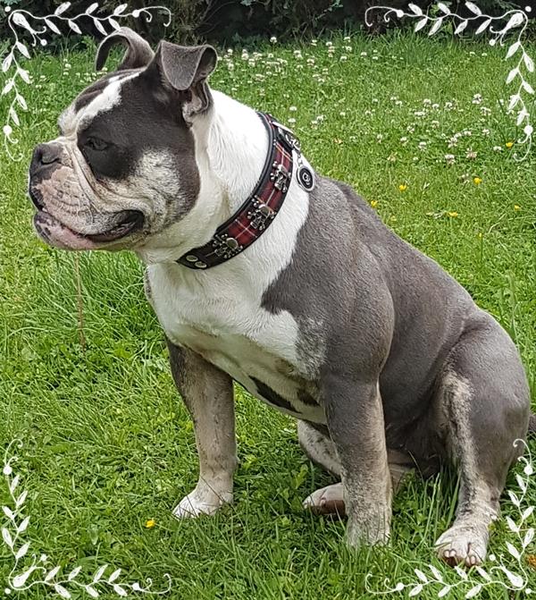 Hundehalsband-Totenkopf-kariert-Bulldogge