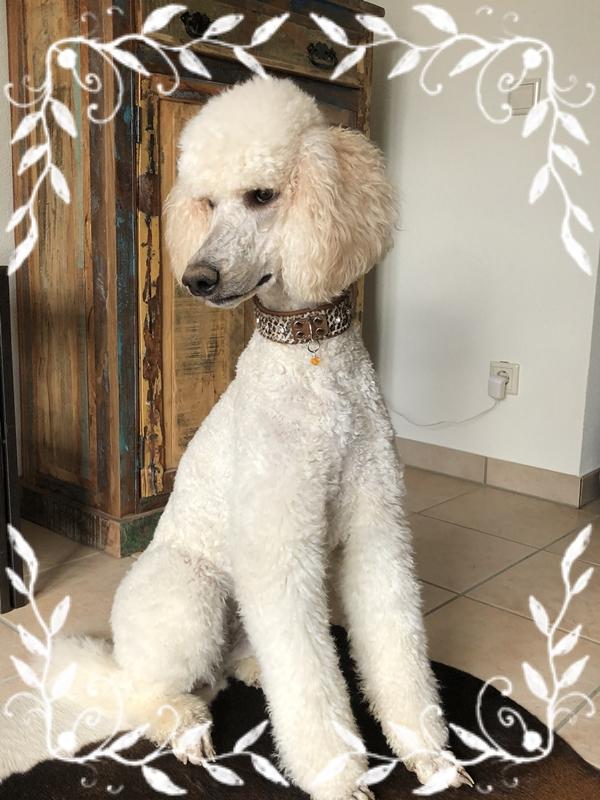 Halsband-Samoa-Luxus-Hundehalsband-Grosspudel