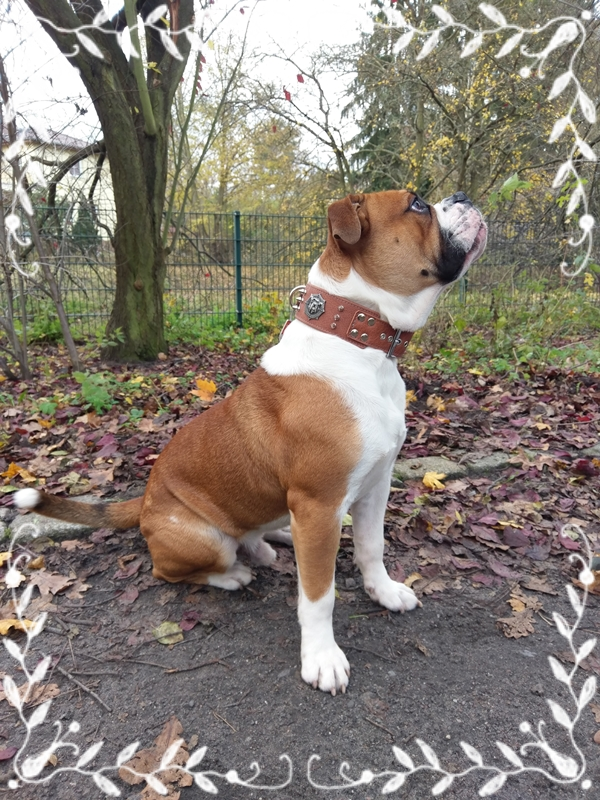 odin-breites-hundehalsband-leder-braun-bulldogge